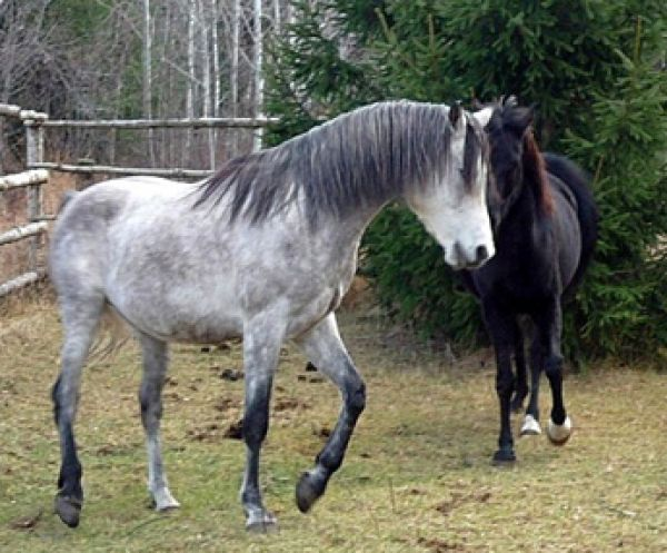 Grey Arabian Stallion for Sale in Ontario