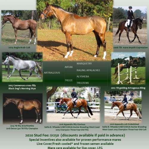 Bay Thoroughbred Stallion for Sale in Florida