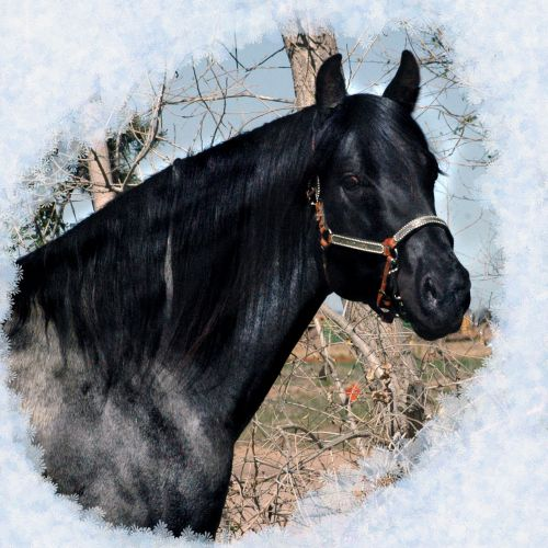 Blue Roan Quarter Horse Stallion for Sale in Colorado