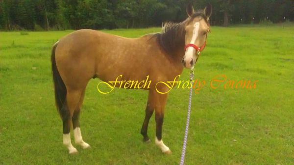 Buckskin Quarter Horse Stallion for Sale in Mississippi