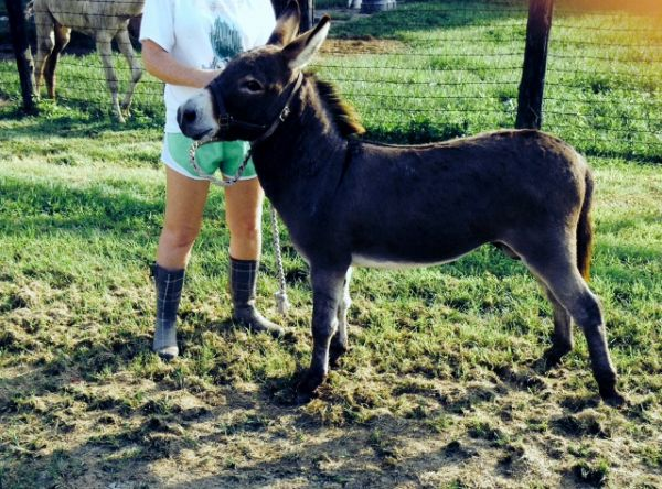 Grey Donkey Stallion for Sale in Kentucky