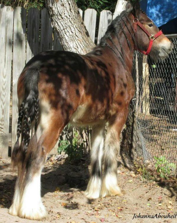 Bay Gypsy Vanner Stallion for Sale in Texas