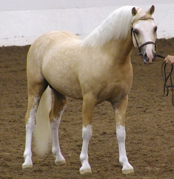 Palomino Welsh Pony Stallion for Sale in Alabama