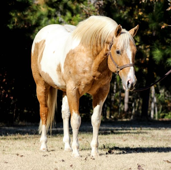 Palomino Paint Stallion for Sale in Texas